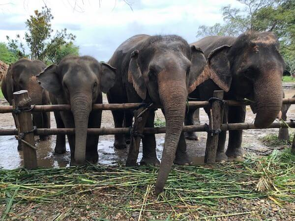 Elephant Santuary Farm Chiang Mai