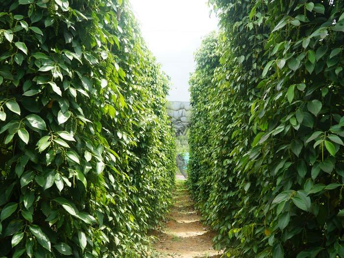 Pfeffer Plantage auf Phu Quoc