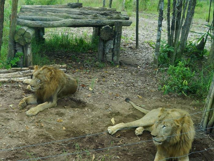 Löwen im Zoo Vinepearl Safari