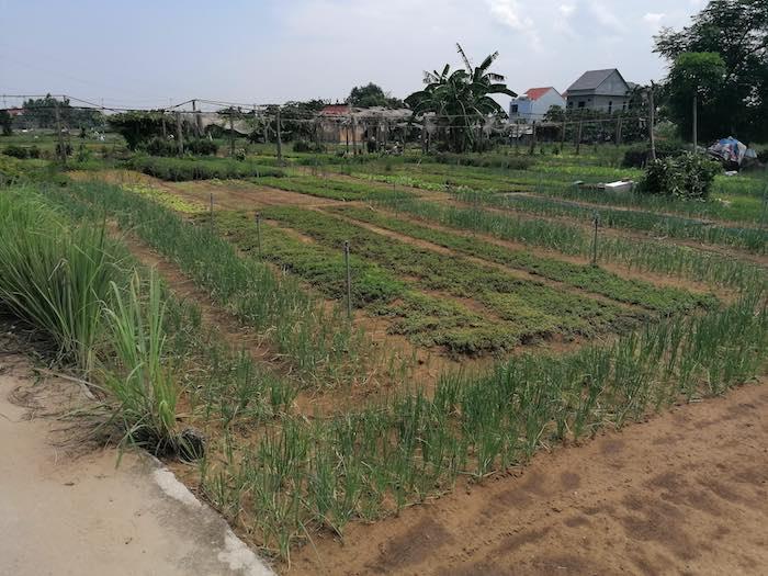 Feld Anbau Hoi An
