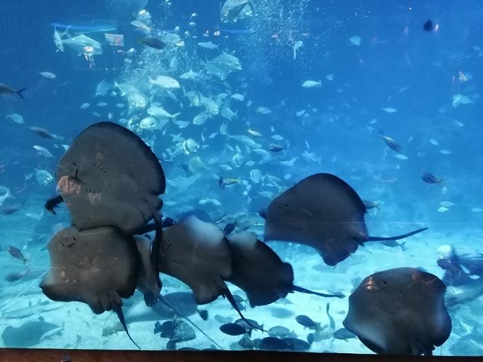 Rochenfütterung im SEA Aquarium