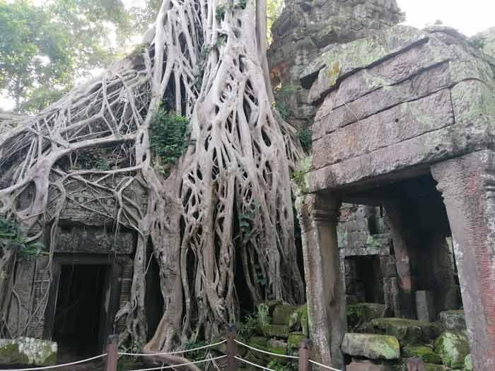 Parasitenbäume in Ta Prohm