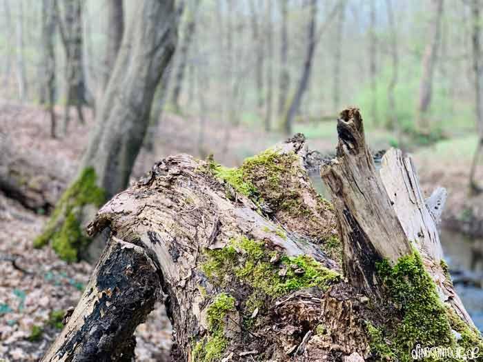 moosbewachsener Baumstamm im Prießnitzgrund