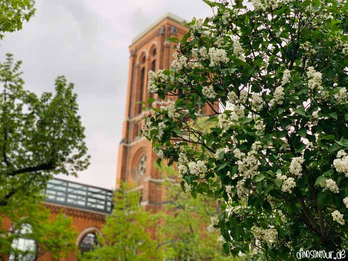Ruine St. Pauli hinter blühenden Bäumen im Hechtviertel