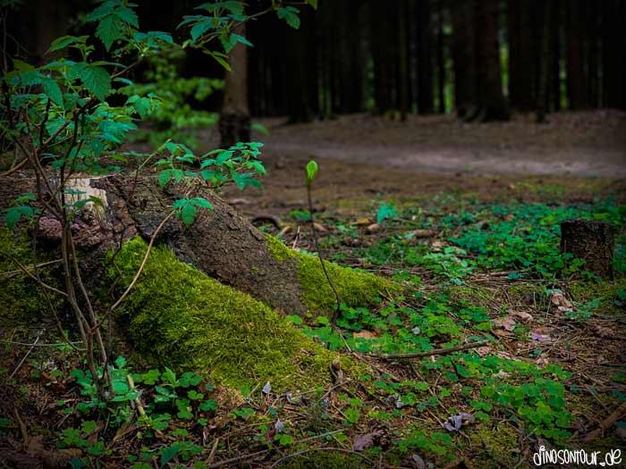 Moosbewachsener Baumstumpf am Wegesrand