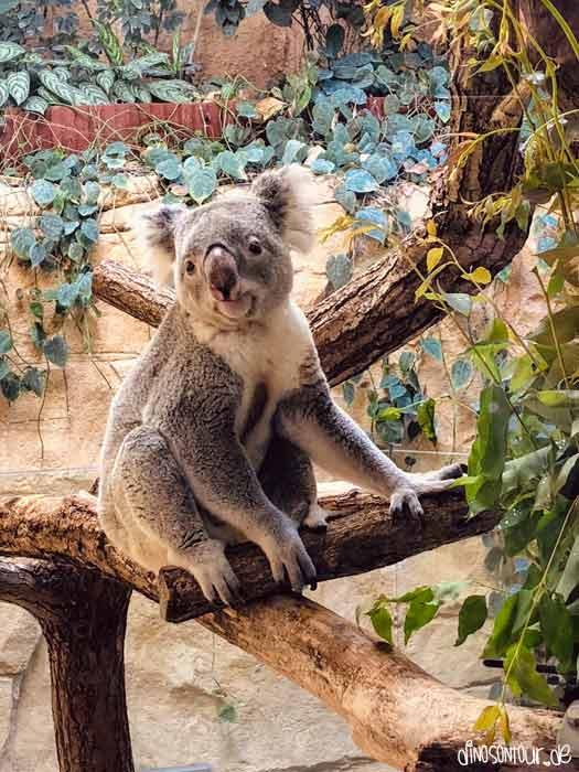 Koala im Zoo Dresden