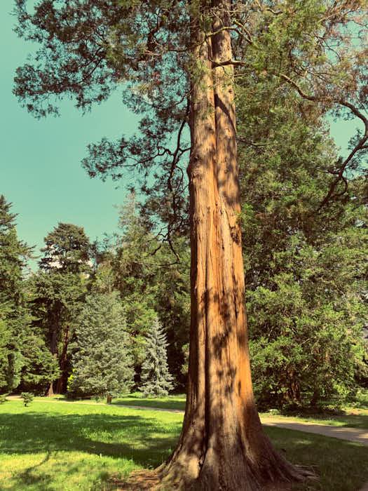 Koniferenhain mit imposanten Bäumen