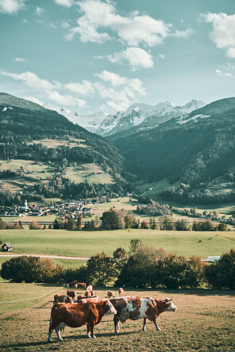 Kühe auf der Alpenwiese