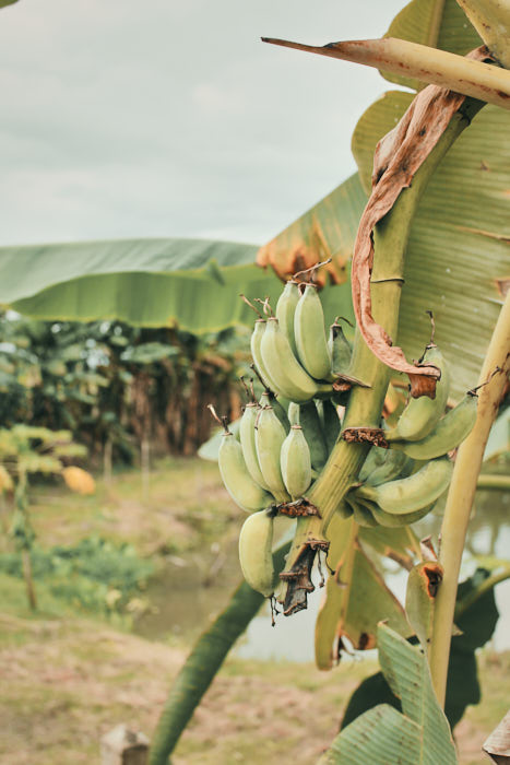 Bananenstaude Chiang Rai