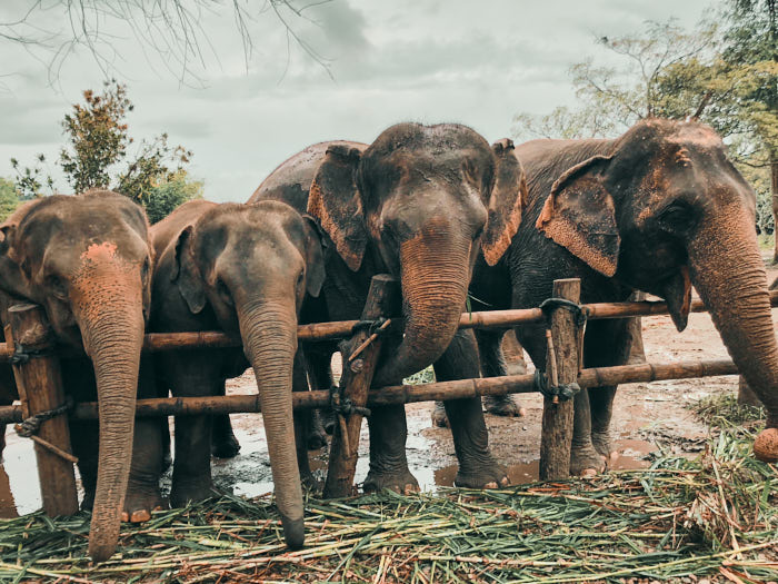 Elefanten in Chiang Mai Thailand
